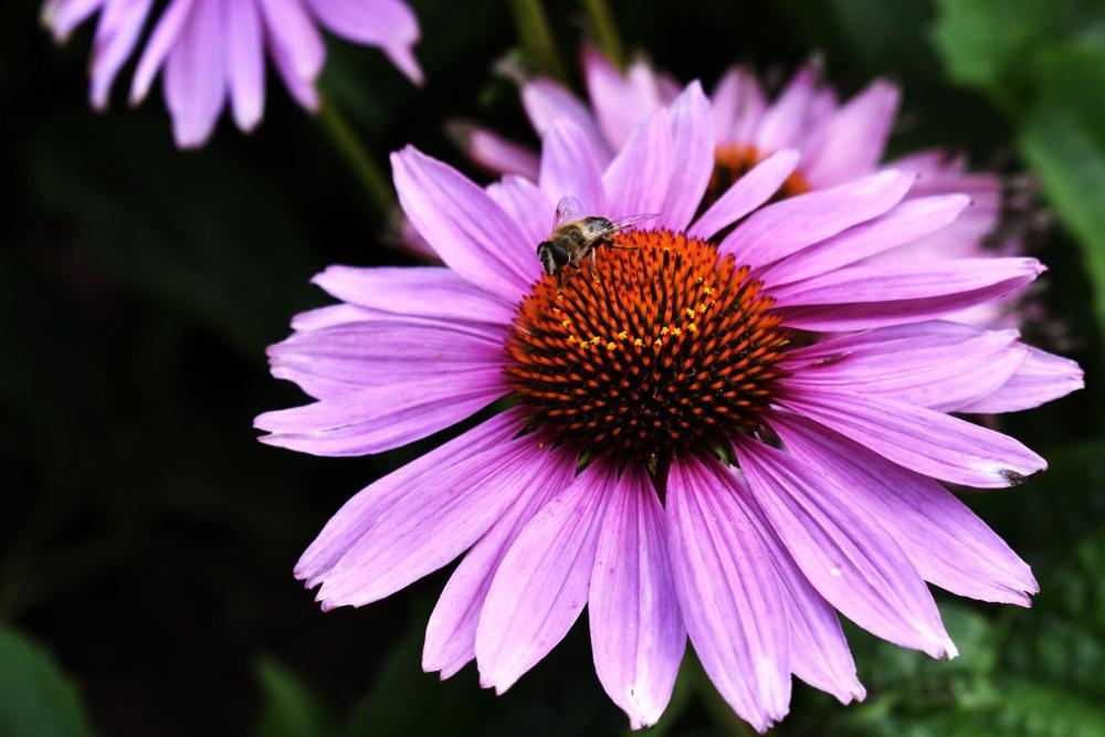 Echinacea - pomáhá zmírnit onemocnění a urychluje zotavení