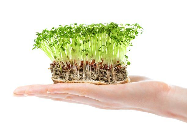Řeřicha – nenáročná zdravá bylinka. Chrání játra i pomáhá při astmatu