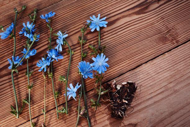 Čekanka - léčivá rostlina s mnoha benefity