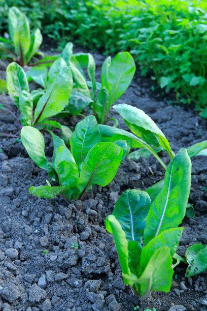 pěstování čekanky