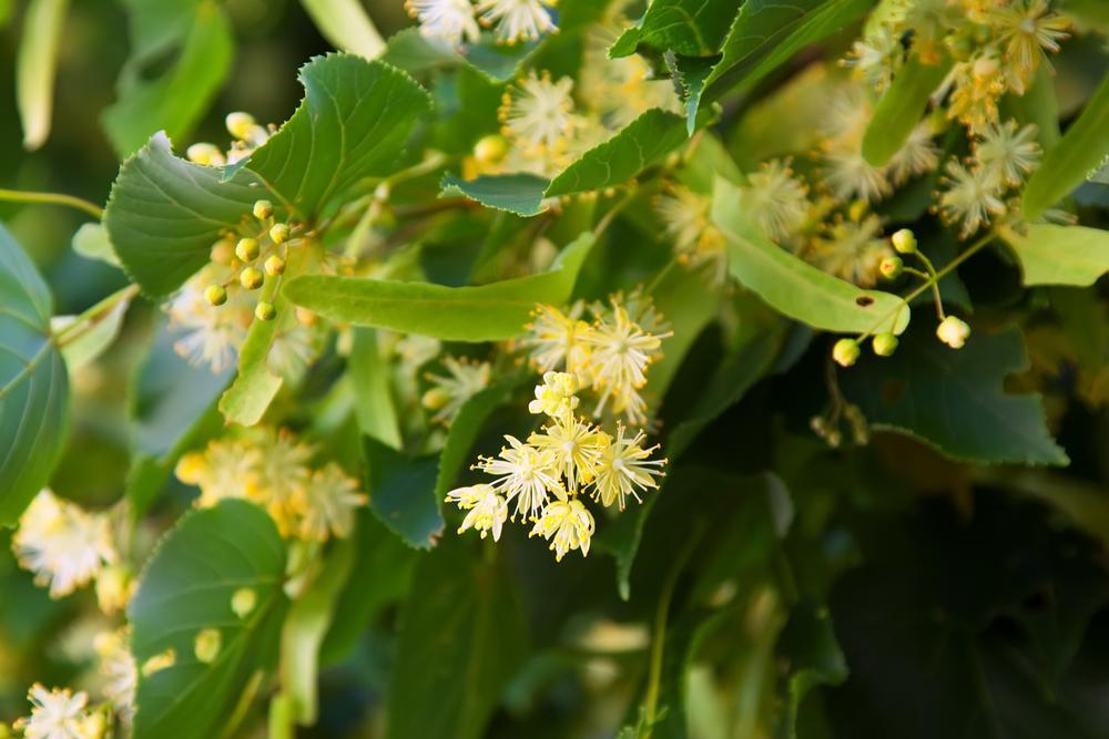 Květy lípy nejen krásně voní. Působí protizánětlivě a uklidňují