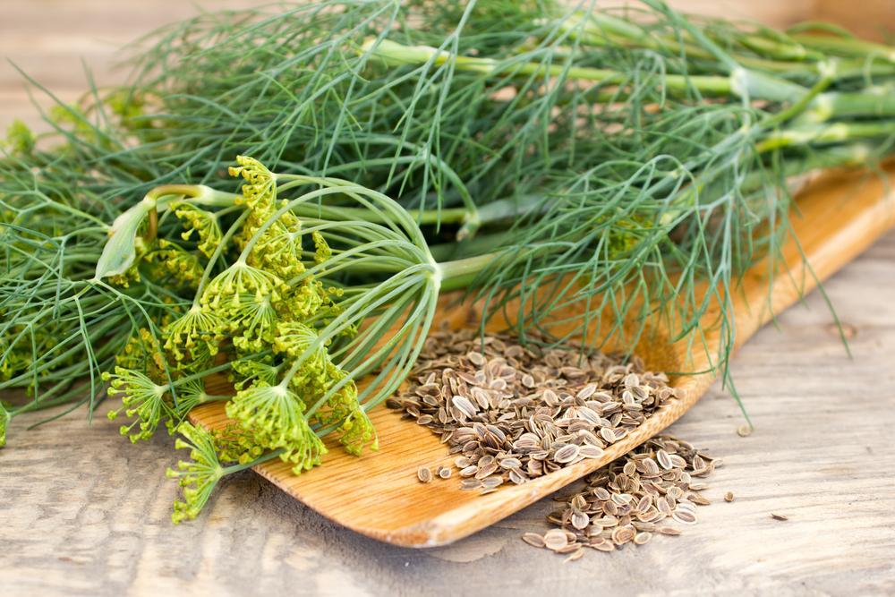 Kopr je i zajímavá bylinka s léčivými účinky