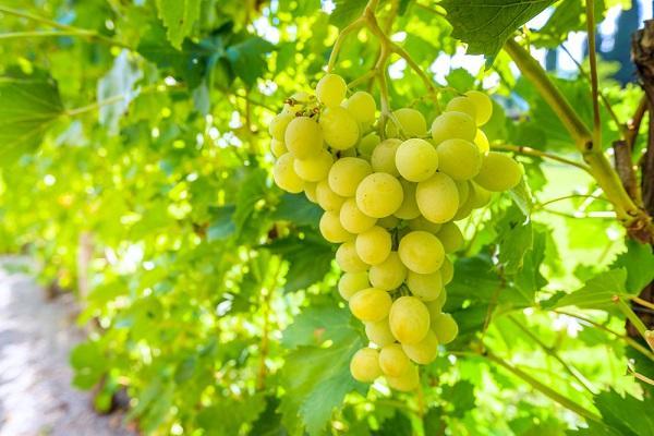 Mouka a olej z jadérek hroznového vína, znáte?