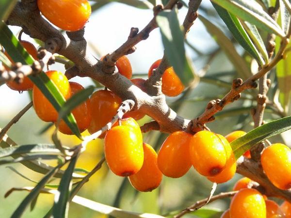 Rakytník – oranžová pokladnice vitamínů