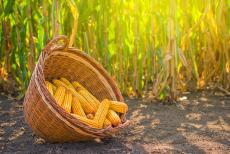 Milujete kukuřici? Kdy může být problémem?